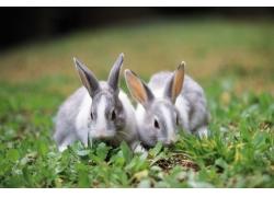 吃草的兔子