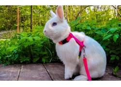 红色绳子与兔子