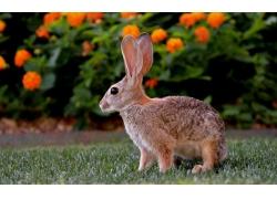 草地上的兔子