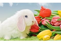白色兔子和郁金香图片