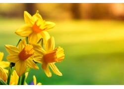 美丽的黄水仙花