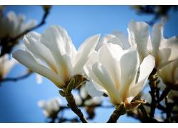 白色玉兰花