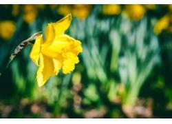 黄色的水仙花