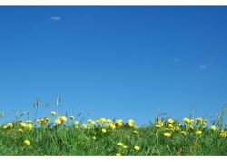 黄色的蒲公英花丛