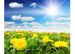 阳光蓝天下的蒲公英