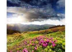 山坡上的粉色三角梅花