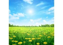 蓝天下的蒲公英花丛