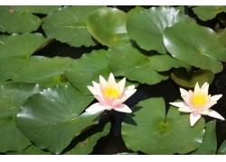 绿色荷花和睡莲