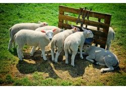 草地上的可爱绵羊