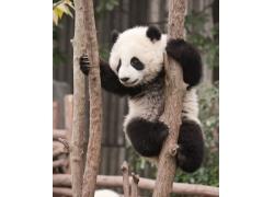 攀爬的可爱大熊猫幼体