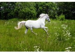 奔跑的白色马