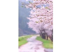 盛开的鲜艳樱花