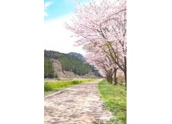 高山下的樱花