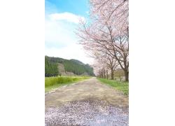 小路边的樱花