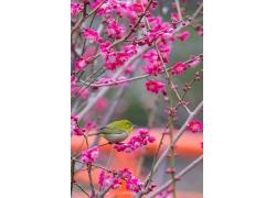 梅花上的小鸟