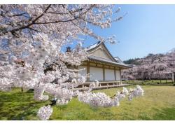 醍醐寺樱花摄影