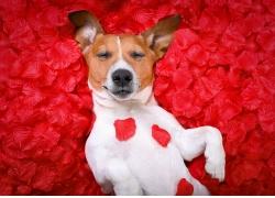 玫瑰花上的闭眼睛的狗高清