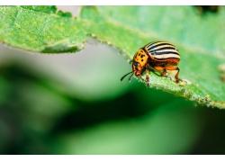 叶子上的甲虫高清