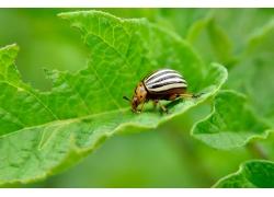 吃叶子的甲虫高清
