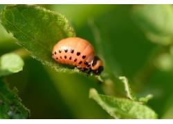 甲虫幼虫高清