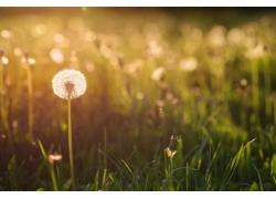 草丛中的蒲公英特写