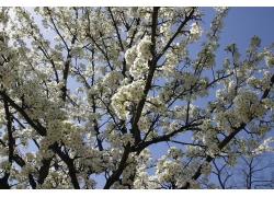 白色的樱花摄影