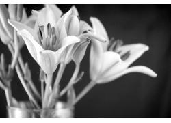 黑白百合花