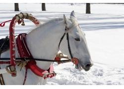 雪地上的白色马