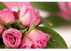 绿叶玫瑰花水珠