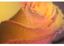 黄色玫瑰花水珠
