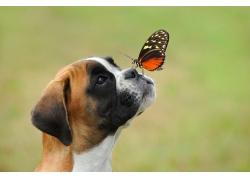 小狗鼻子上的蝴蝶