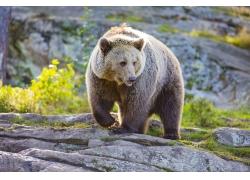 石头上的棕熊