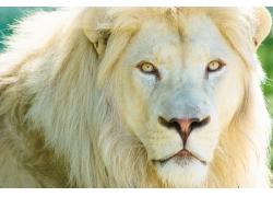 白色的狮子