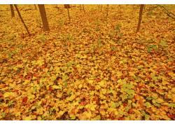 美丽的枫叶和树林