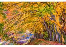 金黄色的大树摄影