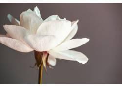 洁白的玫瑰花