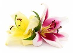 美丽的百合花