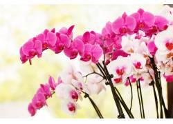 粉红的兰花摄影