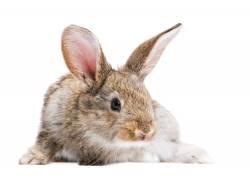 可爱的兔子