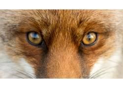 瞪着眼睛的狐狸