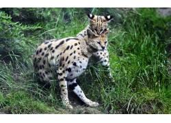 可爱的虎豹