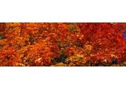高清红色枫树摄影