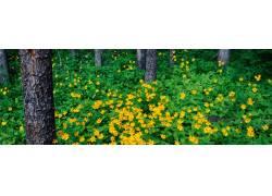 松树林黄色小花摄影