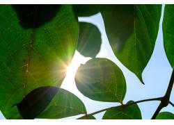 阳光下的树叶高清摄影