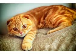 沙发上的猫咪高清摄影