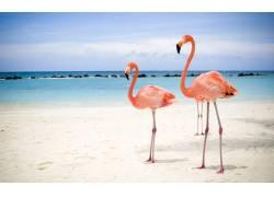 沙滩上的火烈鸟高清摄影