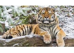 雪地上的老虎高清摄影