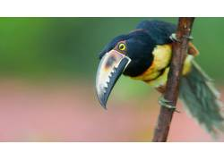 树枝上的一只巨嘴鸟图片