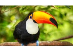 树枝上的巨嘴鸟摄影图片