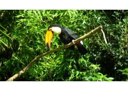 树林中的一只巨嘴鸟图片